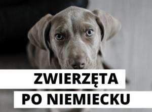pies po niemiecku